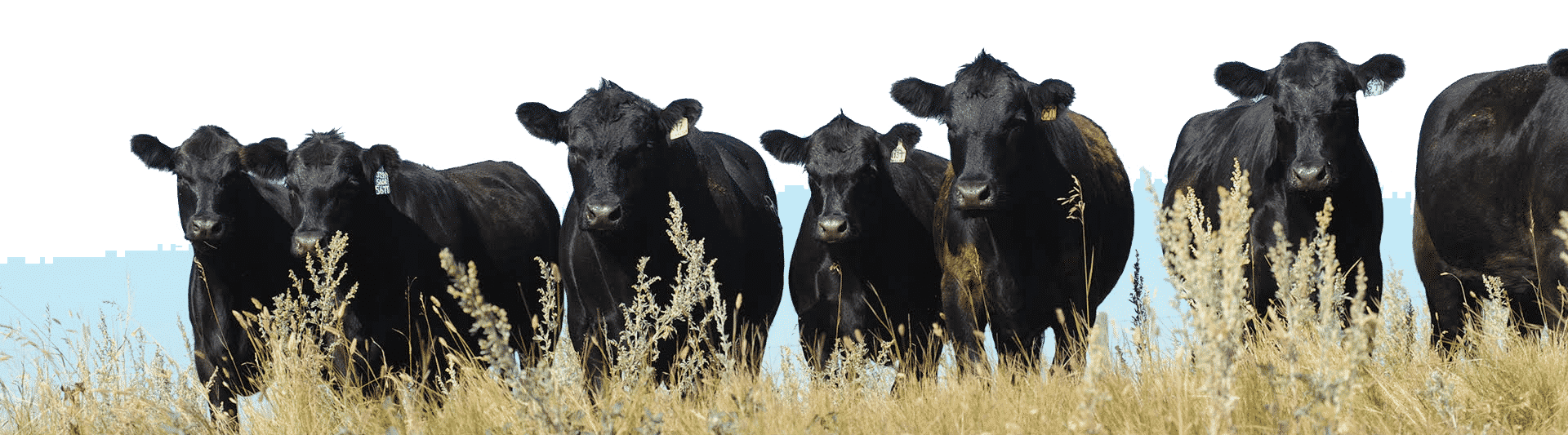 breed-innovation-cows