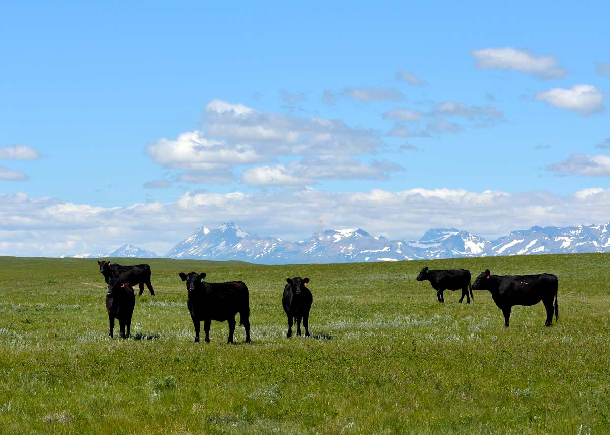 cows-field